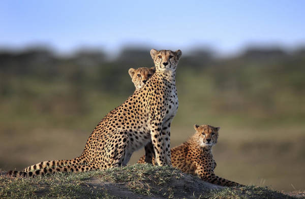 Wall Art - Photograph - Cheetahs Family by Sultan Sultan Al