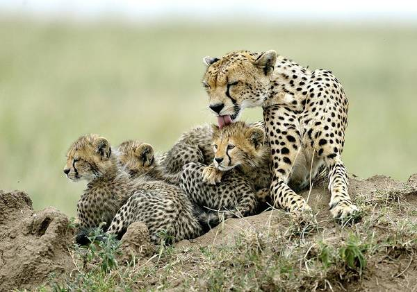 Wall Art - Photograph - Cheetahs by Giuseppe D\\\'amico