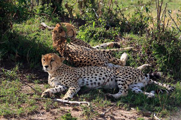 Photograph - Cheetahs Of The Masai Mara by Aidan Moran