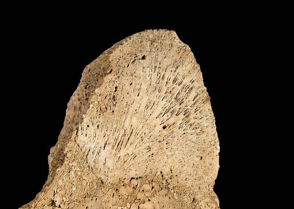 Invertebrata Wall Art - Photograph - Cheilostomata Bryozoan by Natural History Museum, London