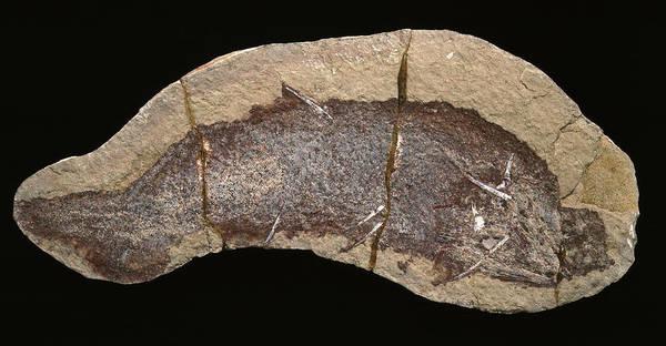 Invertebrata Wall Art - Photograph - Cheiracanthus Murchisoni Fossil Fish by Natural History Museum, London