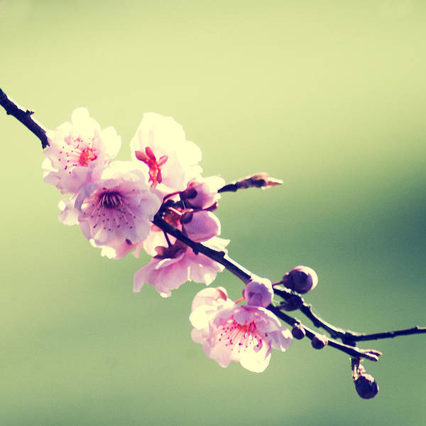 Photograph - Cherry Blooms by Yulia Kazansky