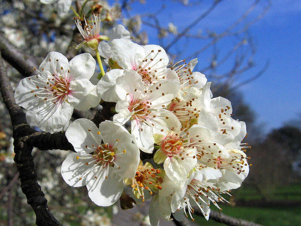 Photograph - Cherry Blossom 1 by Helene U Taylor