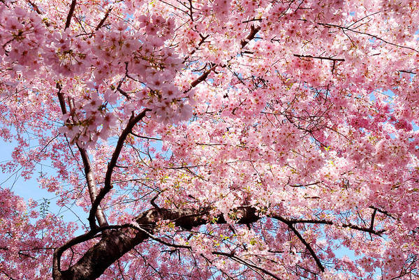 Photograph - Cherry Blossom Background by Songquan Deng