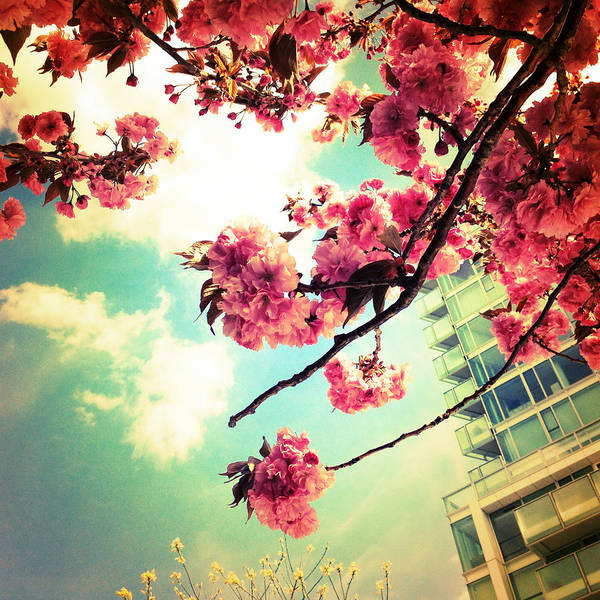 Photograph - Cherry Blossom Blooms by Natasha Marco