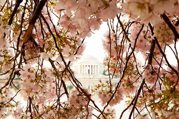 Framing Photograph - Cherry Blossom Flowers In Washington Dc by Susan Schmitz