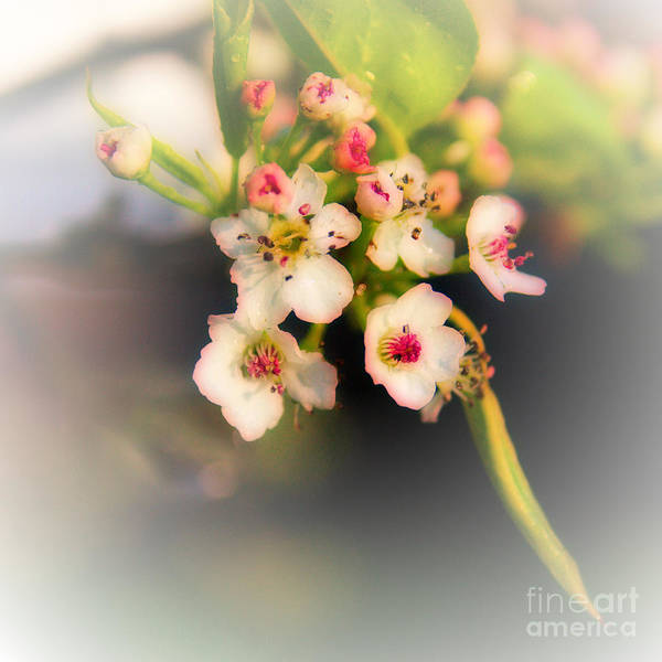 Photograph - Cherry Blossom Flowers by Jeremy Hayden