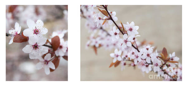 Photograph - cherry blossom II by Hannes Cmarits