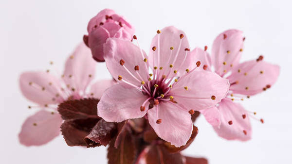Photograph - Cherry Blossom by Pierre Leclerc Photography