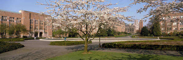 University Of Washington Wall Art - Photograph - Cherry Blossom Trees In A University by Panoramic Images