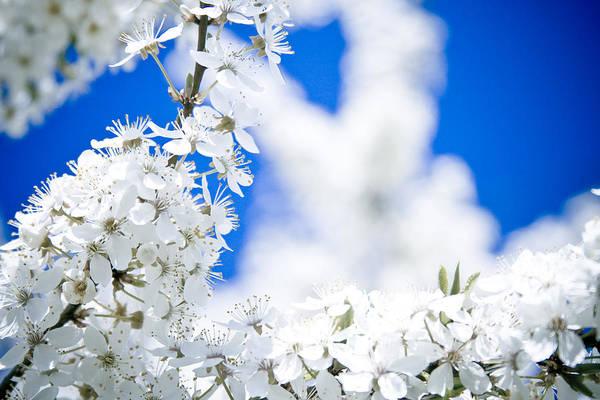 Photograph - Cherry Blossom With Blue Sky by Raimond Klavins
