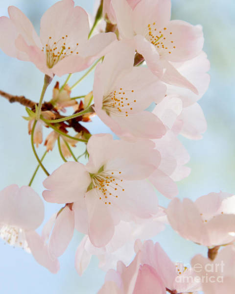 Photograph - Cherry Blossoms 2 by Chris Scroggins