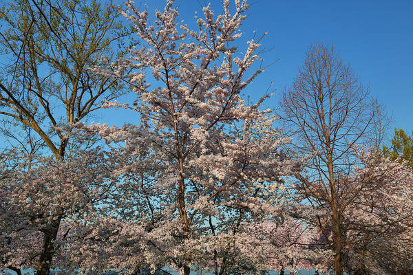 Photograph - Cherry Blossoms 2013 - 033 by Metro DC Photography