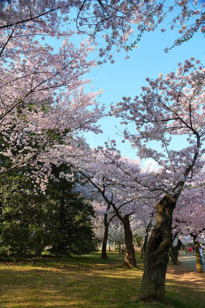 Photograph - Cherry Blossoms 2013 - 043 by Metro DC Photography