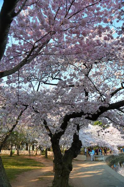 Cherry Blossoms 2013 - 044 Art Print