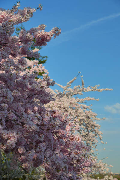 Photograph - Cherry Blossoms 2013 - 046 by Metro DC Photography