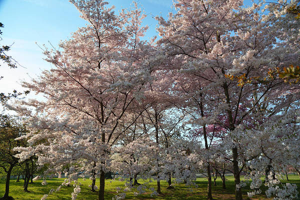 Photograph - Cherry Blossoms 2013 - 049 by Metro DC Photography