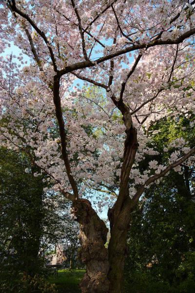 Cherry Blossoms 2013 - 056 Art Print