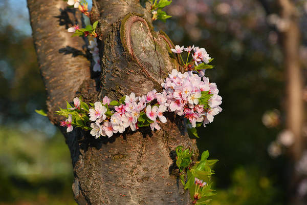 Photograph - Cherry Blossoms 2013 - 064 by Metro DC Photography