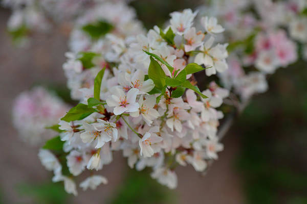 Photograph - Cherry Blossoms 2013 - 068 by Metro DC Photography