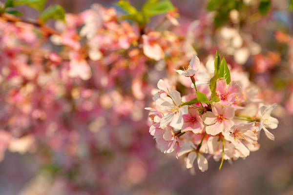 Photograph - Cherry Blossoms 2013 - 072 by Metro DC Photography