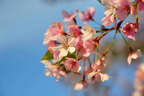 Photograph - Cherry Blossoms 2013 - 074 by Metro DC Photography