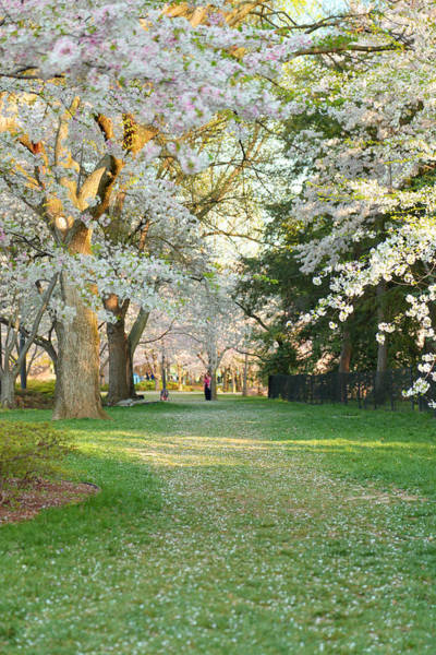 Photograph - Cherry Blossoms 2013 - 075 by Metro DC Photography