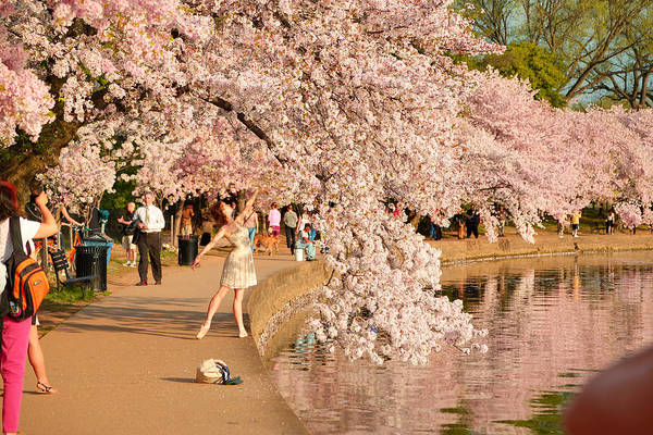 Photograph - Cherry Blossoms 2013 - 076 by Metro DC Photography