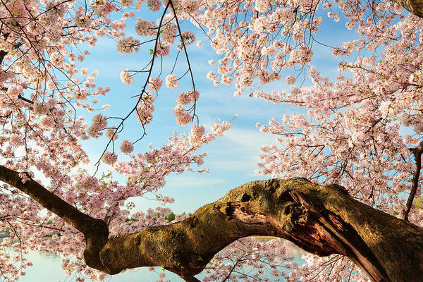 Photograph - Cherry Blossoms 2013 - 089 by Metro DC Photography