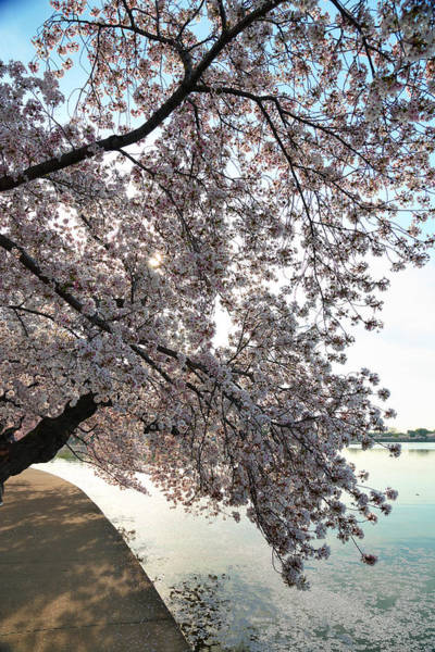 Photograph - Cherry Blossoms 2013 - 092 by Metro DC Photography