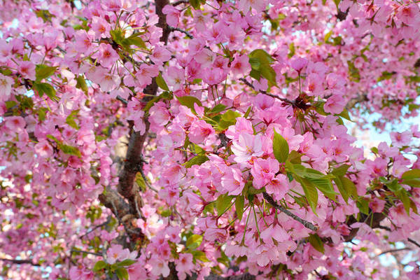 Photograph - Cherry Blossoms 2013 - 097 by Metro DC Photography