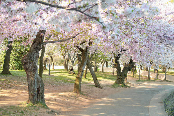 Photograph - Cherry Blossoms 2013 - 099 by Metro DC Photography