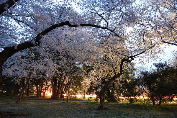 Photograph - Cherry Blossoms 2013 - 101 by Metro DC Photography