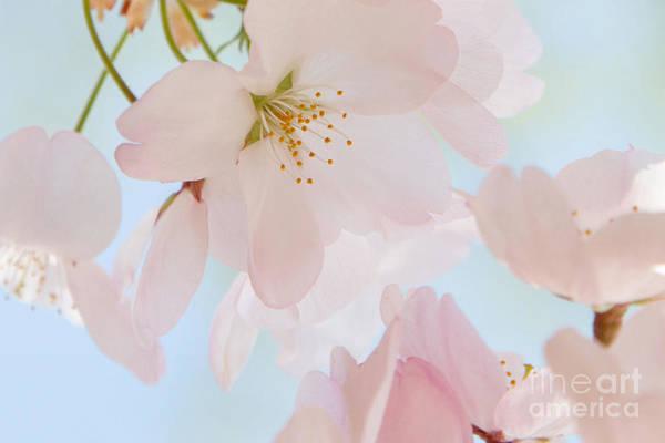 Photograph - Cherry Blossoms 3 by Chris Scroggins