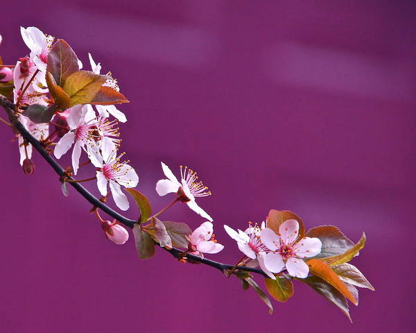 Photograph - Cherry Blossoms And Plum Door by Byron Varvarigos