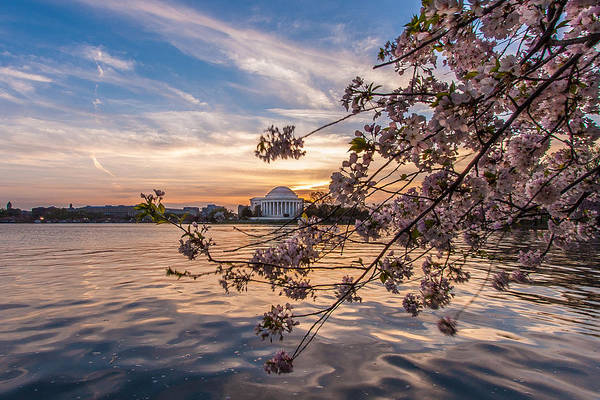 Blossom Photograph - Cherry Blossoms At The Jefferson Memorial by Tony Delsignore
