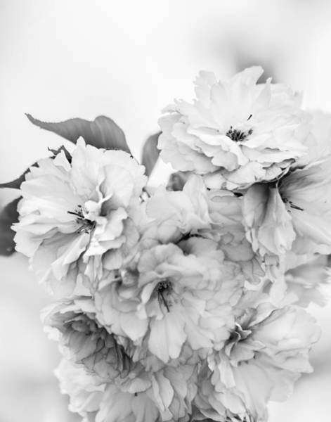Photograph - Cherry Blossoms Black And White by Karen Saunders