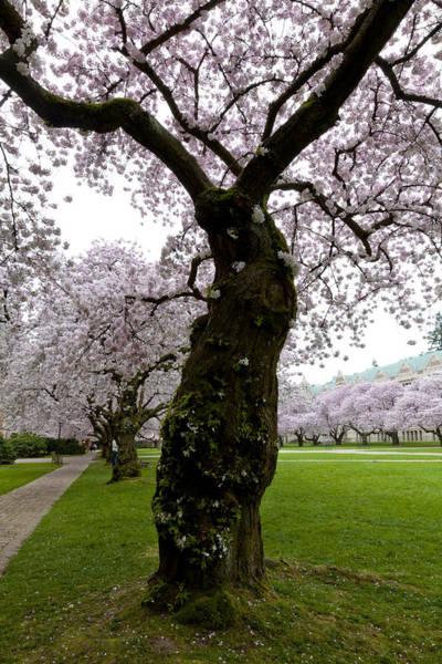 University Of Washington Wall Art - Photograph - Cherry Blossoms by Chandru Murugan