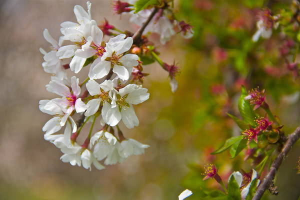 Photograph - Cherry Blossoms Galore by Alice Gipson