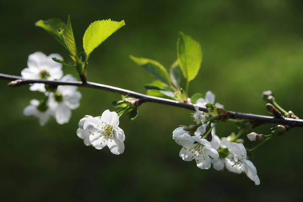 Photograph - Cherry Blossoms In May by Ari Salmela