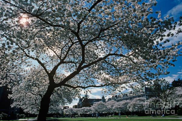 University Of Washington Wall Art - Photograph - Cherry Blossoms by Jim Corwin