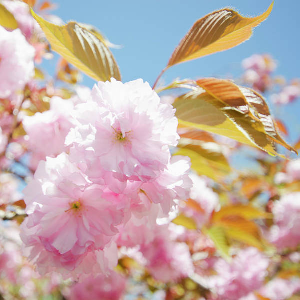 New Leaf Photograph - Cherry Blossoms by Nine Ok