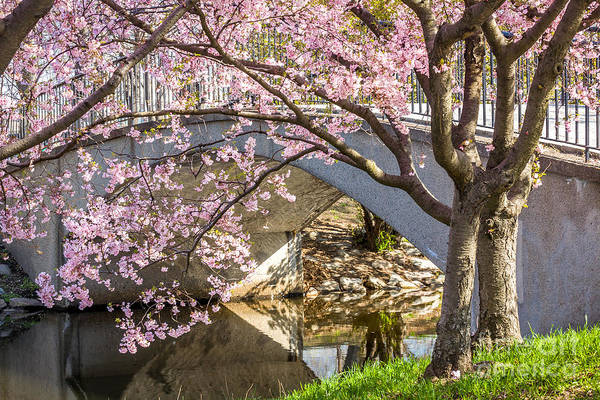 Photograph - Cherry Blossoms On The Bridge by Susan Cole Kelly