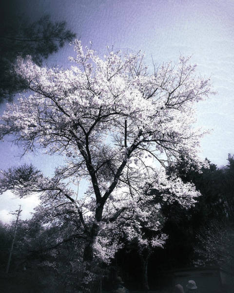 Photograph - Cherry Blossoms Tree by Yen