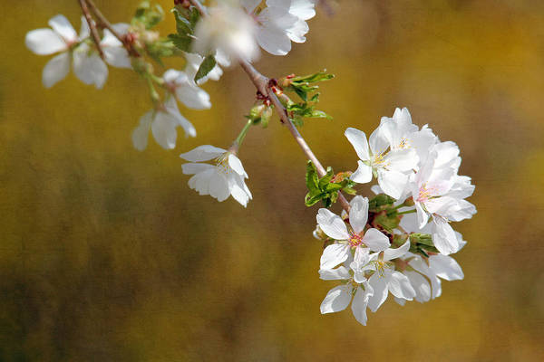 Photograph - Cherry Blossoms by Trina  Ansel
