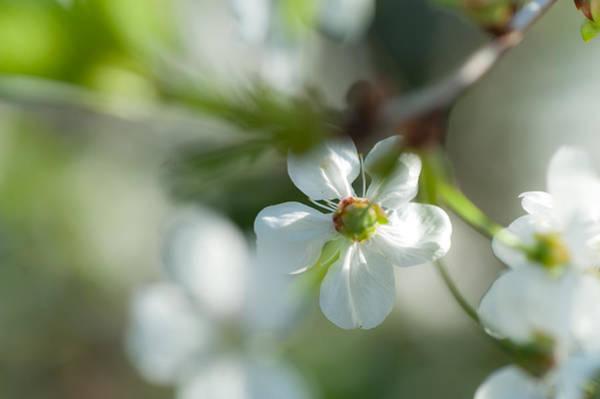 Photograph - Cherry Blossom. Sunny Day by Jenny Rainbow