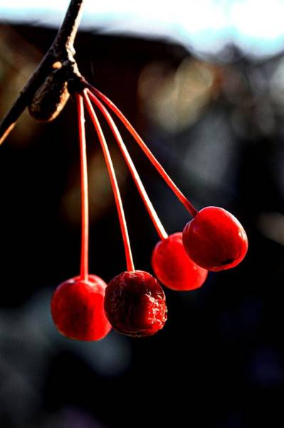 Photograph - Cherry Cradle by David Matthews