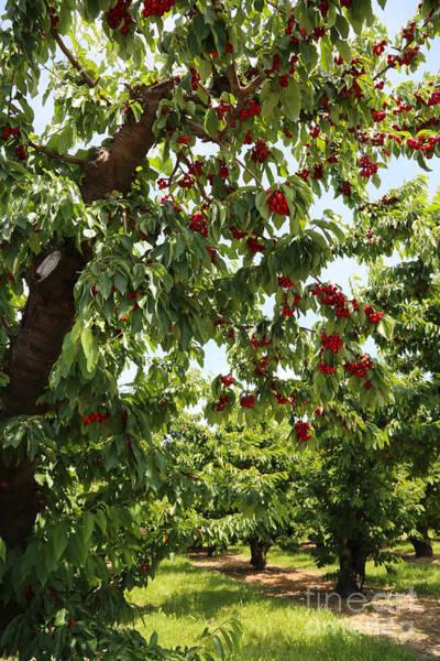 Wall Art - Photograph - Cherry Orchard  by Carol Groenen