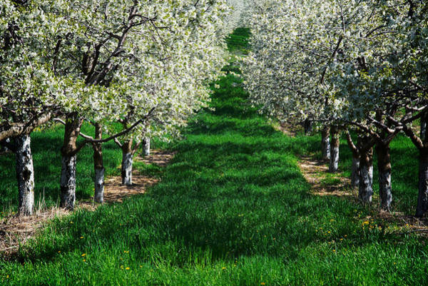 Photograph - Cherry Orchard Morning by Mary Lee Dereske