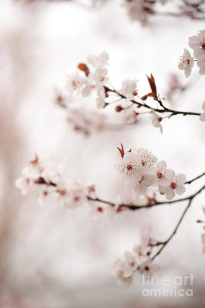 Wall Art - Photograph - Cherry Plum Blossom by Anne Gilbert